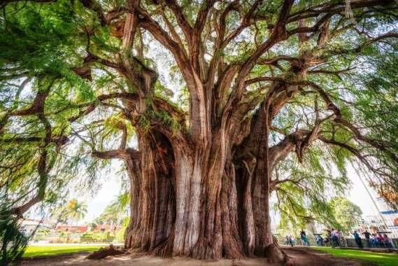 ¿Cuál es el árbol nacional de México?